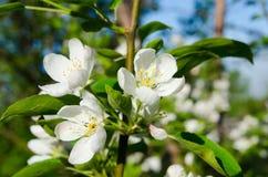 Κλάδοι του Apple-δέντρου με τα άσπρα λουλούδια ενάντια σε ένα μπλε ελατήριο Στοκ φωτογραφία με δικαίωμα ελεύθερης χρήσης