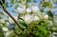 Κλάδοι του Apple-δέντρου με τα άσπρα λουλούδια ενάντια σε ένα μπλε ελατήριο Στοκ φωτογραφίες με δικαίωμα ελεύθερης χρήσης