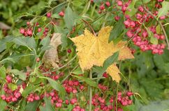 Κλάδοι του europaeus Euonymus με τα κόκκινα και κίτρινα μούρα Στοκ φωτογραφία με δικαίωμα ελεύθερης χρήσης