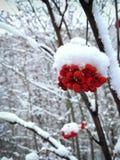 Κλάδοι του Rowan με τα κόκκινα μούρα που καλύπτονται με τον άσπρο παγετό, χιόνι στοκ φωτογραφία