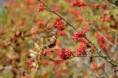 Κλάδοι του Rowan με τα κόκκινα μούρα Στοκ φωτογραφία με δικαίωμα ελεύθερης χρήσης