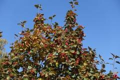 Κλάδοι του whitebeam με τα ώριμα κόκκινα μούρα ενάντια στον ουρανό Στοκ φωτογραφία με δικαίωμα ελεύθερης χρήσης