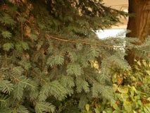 Κλάδοι του yew στοκ φωτογραφίες με δικαίωμα ελεύθερης χρήσης