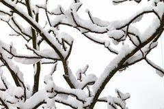 Κλάδοι των δέντρων στο χιόνι Στοκ Εικόνες