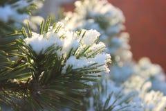 Κλάδοι των ερυθρελατών ή του πεύκου στο χιόνι στοκ εικόνες