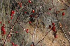Κλάδοι των ροδαλών ισχίων και των φρούτων με τη διάχυτη βλάστηση ως υπόβαθρο στοκ φωτογραφίες