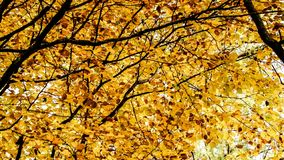 Κλάδοι των φθινοπωρινών δέντρων ως υπόβαθρο φύσης στοκ φωτογραφία