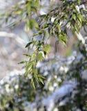κλάδοι χιονώδεις Στοκ φωτογραφία με δικαίωμα ελεύθερης χρήσης