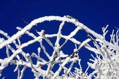 κλάδοι χιονώδεις Στοκ εικόνες με δικαίωμα ελεύθερης χρήσης