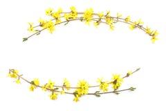 Κλάδοι Forsythia με τα κίτρινα λουλούδια που απομονώνονται στο άσπρο υπόβαθρο Στοκ Εικόνες