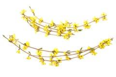 Κλάδοι Forsythia με τα κίτρινα λουλούδια που απομονώνονται στο άσπρο υπόβαθρο Στοκ εικόνα με δικαίωμα ελεύθερης χρήσης