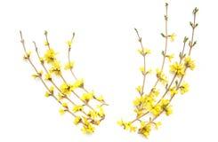 Κλάδοι Forsythia με τα κίτρινα λουλούδια που απομονώνονται στο άσπρο υπόβαθρο Στοκ φωτογραφία με δικαίωμα ελεύθερης χρήσης