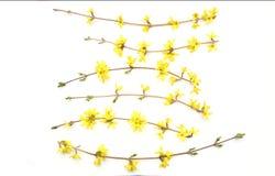Κλάδοι Forsythia με τα κίτρινα λουλούδια που απομονώνονται στο άσπρο υπόβαθρο Στοκ εικόνες με δικαίωμα ελεύθερης χρήσης