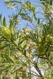 Κλάδοι fruticosus Gomphocarpus Στοκ Φωτογραφίες