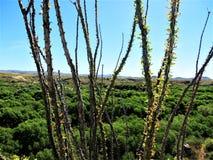 Κλάδοι Ocotillo, Αριζόνα στοκ φωτογραφία με δικαίωμα ελεύθερης χρήσης