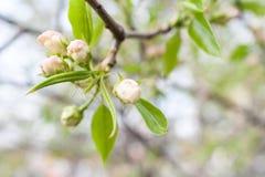 Κλάδος άνοιξη του δέντρου της Apple με τους ρόδινους οφθαλμούς και τα ευγενή πράσινα φύλλα Στοκ Εικόνες