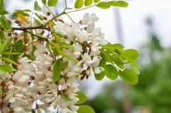 Κλάδος ακακιών με τις συστάδες των άσπρων λουλουδιών και των πράσινων φύλλων στοκ φωτογραφίες