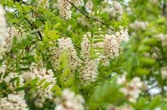 Κλάδος ακακιών με τις συστάδες των άσπρων λουλουδιών και των πράσινων φύλλων στοκ εικόνα με δικαίωμα ελεύθερης χρήσης