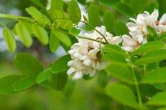 Κλάδος ακακιών με τις συστάδες των άσπρων λουλουδιών και των πράσινων φύλλων στοκ εικόνα