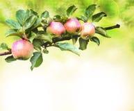 κλάδος ανασκόπησης μήλων Στοκ Φωτογραφία
