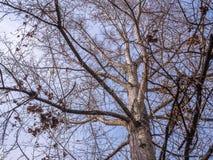 Κλάδος δέντρων καμία περίληψη έννοιας χειμερινής εποχής μπλε ουρανού φύλλων Στοκ φωτογραφία με δικαίωμα ελεύθερης χρήσης