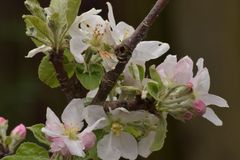 Κλάδος δέντρων με τα άνθη της Apple Στοκ εικόνες με δικαίωμα ελεύθερης χρήσης