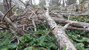Κλάδος δέντρων πεύκων στο έδαφος στοκ εικόνες με δικαίωμα ελεύθερης χρήσης