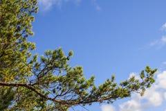 Κλάδος δέντρων πεύκων Στοκ Φωτογραφία