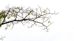 Κλάδος δέντρων που απομονώνεται στο λευκό στοκ εικόνες
