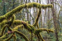 Κλάδος δέντρων που καλύπτεται στο βρύο στοκ εικόνα