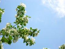 Κλάδος δέντρων της Apple ενάντια στον ουρανό Στοκ Εικόνες