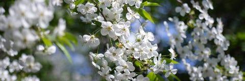 Κλάδος δέντρων της Apple με τα άσπρα λουλούδια στο θολωμένο υπόβαθρο στοκ εικόνα