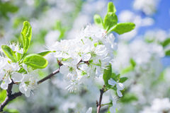 Κλάδος δέντρων της Apple με τα λουλούδια Στοκ φωτογραφίες με δικαίωμα ελεύθερης χρήσης