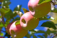 Κλάδος δέντρων της Apple με τα μήλα ενάντια σε έναν μπλε ουρανό Στοκ φωτογραφίες με δικαίωμα ελεύθερης χρήσης