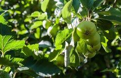 Κλάδος δέντρων της Apple με τα πράσινα φρούτα μήλων Στοκ Φωτογραφίες