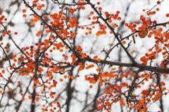 Κλάδος δέντρων της Apple με τα φρούτα Μικρό πορτοκαλί κινεζικό prunifolia Malus μήλων Μαλακή εστίαση, ρηχό βάθος του τομέα Στοκ φωτογραφία με δικαίωμα ελεύθερης χρήσης