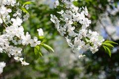 Κλάδος δέντρων της Apple με τα όμορφα άσπρα λουλούδια, βλασταημένη κινηματογράφηση σε πρώτο πλάνο στοκ φωτογραφία με δικαίωμα ελεύθερης χρήσης