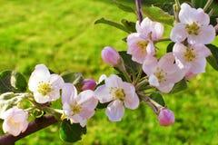 Κλάδος δέντρων της Apple με τα όμορφα ρόδινα λουλούδια Στοκ φωτογραφία με δικαίωμα ελεύθερης χρήσης
