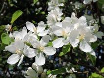Κλάδος δέντρων της Apple με τις άσπρες ανθίσεις, Λιθουανία Στοκ εικόνες με δικαίωμα ελεύθερης χρήσης
