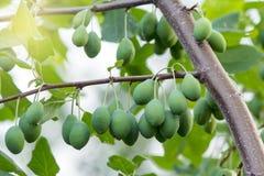 Κλάδος δαμάσκηνων με τα ανώριμα φρούτα Στοκ Εικόνες