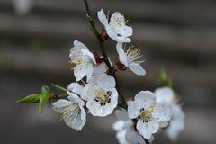 Κλάδος ενός ανθίζοντας οπωρωφόρου δέντρου κοντά επάνω Άσπρα λουλούδια του δέντρου κερασιών στοκ φωτογραφία