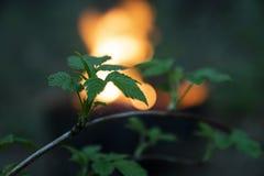 Κλάδος ενός δέντρου ενάντια σε μια πυρκαγιά σε ένα δάσος manga την άνοιξη Στοκ φωτογραφία με δικαίωμα ελεύθερης χρήσης