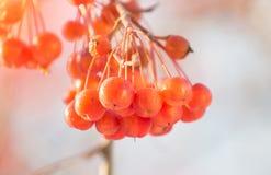 Κλάδος ενός δέντρου με τα κόκκινα μούρα όμορφο διάνυσμα δέντρων απεικόνισης μήλων Φθινόπωρο Στοκ Φωτογραφία