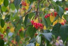 Κλάδος ενός δέντρου με τα πράσινα και κίτρινα φύλλα και τα μούρα Apple Στοκ εικόνες με δικαίωμα ελεύθερης χρήσης