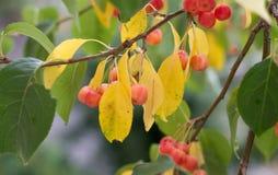 Κλάδος ενός δέντρου με τα πράσινα και κίτρινα φύλλα και τα μούρα Apple Στοκ Εικόνες