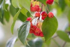 Κλάδος ενός δέντρου με τα πράσινα και κίτρινα φύλλα και τα μούρα Apple Στοκ Φωτογραφίες