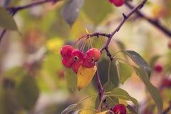 Κλάδος ενός δέντρου με τα πράσινα και κίτρινα φύλλα και τα μούρα Apple Στοκ φωτογραφίες με δικαίωμα ελεύθερης χρήσης