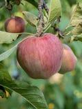Κλάδος ενός δέντρου μηλιάς με τα φωτεινά κόκκινα και πράσινα μήλα σε ένα SK Στοκ εικόνες με δικαίωμα ελεύθερης χρήσης