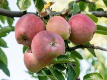 Κλάδος ενός δέντρου μηλιάς με τα φωτεινά κόκκινα και πράσινα μήλα σε ένα SK Στοκ Εικόνες