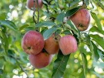Κλάδος ενός δέντρου μηλιάς με τα φωτεινά κόκκινα και πράσινα μήλα σε ένα SK Στοκ Φωτογραφίες
